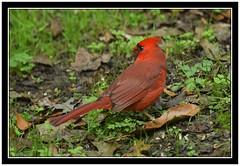 DSC_2854 cardinal 2 with frame (tbullipoo) Tags: cardinal red