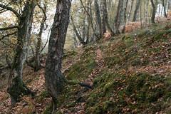 Silver Birch Wood (martin.ellis) Tags: silverbirch autumn wood linn swindonburn grassleesburn witchyneuk whitefieldcamp rivercoquet coquetdale hepple hepplewhitefield northumberland northumberlandnationalpark martinellis martinandjohnphotographycouk nikon d800 england unitedkingdom