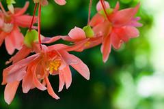 Beguiling Begonia 17 (LongInt57) Tags: begonia flower blossom bloom petals stamens pollen hanging basket nature garden pink orange yellow green kelowna bc canada okanagan