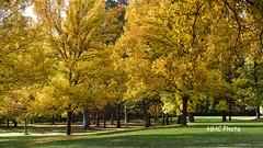 Colors of the Fall - Yellow (HelenC2008) Tags: senecapark senecazoo rochester geneseeriver fall foliage nikon d810 thsphotorocks