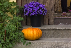 Orange & Purple (rumimume) Tags: potd rumimume 2016 niagara ontario canada photo canon 550d t2i sigma orange pumpkin porch steps outdoor halloween fall autumn october