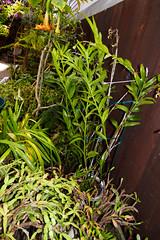 Epidendrum cristata species orchid (nolehace) Tags: nolehace summer fz1000 flower plant bloom 816 epidendrum cristata species orchid sanfrancisco