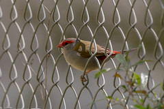 Red Browed Finch (8) (crispy1612) Tags: birds murray river albury wodonga wildlife nikon d750 200500 f56