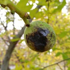 English Walnut (Cliff Hanks) Tags: englishwalnut commonwalnut