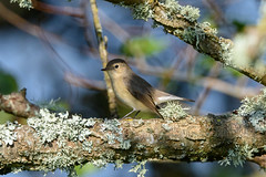 Red-breasted Flycatcher (angus molyneux) Tags: scilly
