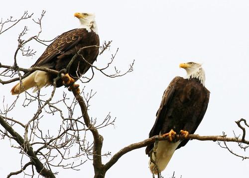 bald eagles at Decorah Fish Hatchery IA 854A7618