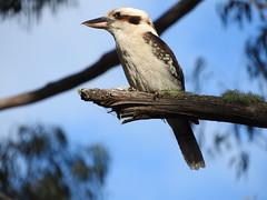 kookaburra (jeaniephelan) Tags: bird kookaburra