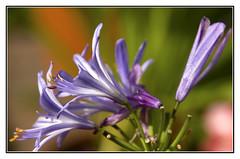 End of Summer (Audrey A Jackson) Tags: 1001nights canon60d flower agapanthus nature colour macro closeup petals