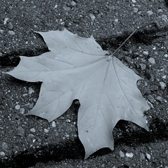 (Landanna) Tags: fallingintoautumn fall efterr black bw white wit zwart zw sort hvid autumn herfst