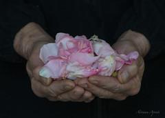 16 novembre 2016, petali di rosa per il mio compleanno (adrianaaprati) Tags: rosaantica compleanno birthday mani hands dono gift petali petals rosa