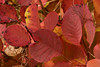 Rosso Carso (paolo-p) Tags: foglie leaves sommacco carso trieste cotinuscoggygriascop