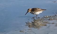 Dunlin (Calidris alpina) (vvpopov) Tags: calidris alpina bird lake dunlin shabla bulgaria black sea