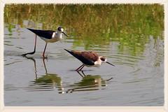 活在當下   Birds live (C. Alice) Tags: water nature hongkong 2016 canonef300mmf4lisusm canoneos7d eos7d canon 300mm wetland spring reflection bird favorites50 500v20f autofocus aatvl01 1000views aatvl02 favorites100 aatvl03 3000views 3000v120f