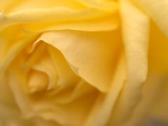 rose (upjohn_freak) Tags: rosa rose flower fleur fiore yellow closeup macro 花 薔薇