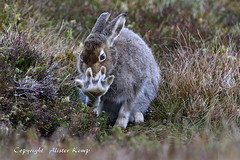 Mountain Hare - Scottish Highlands (Ally.Kemp) Tags: mountain hare hares scotland scottish wild wildlife autumn coat colours 2016 lepus timidus foot streching