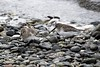 Dunlin (David Badke) Tags: colwood bc bird