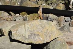 Watchful Meerkat (Bebopgirl1969) Tags: meerkat edinburghzoo
