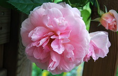 Auf meine Seele, sei erfreut (amras_de) Tags: rose rosen ruža rosa ruže rozo roos arrosa ruusut rós rózsa rože rozes rozen roser róza trandafir vrtnica rossläktet gül blüte blume flor cvijet kvet blomst flower floro õis lore kukka fleur bláth virág blóm fiore flos žiedas zieds bloem blome kwiat floare ciuri flouer cvet blomma çiçek