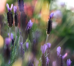 ...dance me the colours of light... (dawn.tranter) Tags: lavender colourful springtime flowers backlit garden sunlight canon dance dawntranter