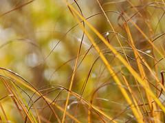 Herbstfarben (steffi's) Tags: warmcolors odc ourdailychallenge grass gras sonne october licht bokeh autumn