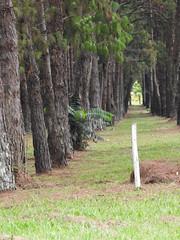 DSCN0317 (apacheizabel) Tags: lago pássaros árvores céu pinhas tronco espelho dágua queroquero rolinhas banco no bosque família de galinhas passeio parque centro aeroespacial da aeronáutica cta são josé dos campos sp