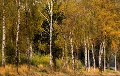 Avensermoor - Birkenhain (Pana53) Tags: photographedbypana53 pana53 naturundlandschaftsfotografie naturfoto naturfotografie birkenhain birken baum wald natur farben herbstfarben herbstlich moor niedersachsen outdoor nikon nikond810 sigmas150600mm landschaft laub pflanze heiter