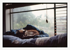 We'll Just Nap Through November (chickentender (Eyewanders Foto)) Tags: 2015 35mmf25 fujichrome november rvp100f voigtlander bessar3m buyfilmnotmegapixels cat colorskopar colorskopar3525 couch covers curl dreary eyewanders filmphotography fuji fujifilm kitty nap naptime purr rainydays rangefinder shootfilm sill slidefilm sofa softfur softlight stayinside transparency velvia100f window ishmael