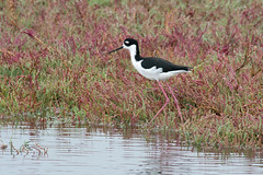 Black Necked Stilts In the Wild (UnsignedZero) Tags: animal bird birds california item landscapes landscaping object out outdoor outdoors outside outsides paloalto paloaltobaylands rainy water weather