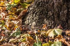 Tree and fallen leaves (Steve Franklin Images) Tags: leaves fallenleaves tree bark autumn hillsmeadow caversham reading berkshire unitedkingdom