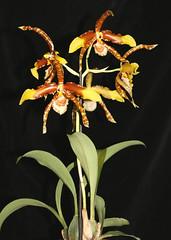 Rossioglossum grande (volker_reich) Tags: orchideen orchids rossioglossum odontoglossum grande