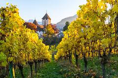 Schloss Spiez (andreas.liechti) Tags: berge herbst reben spiez spiezberg trauben