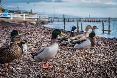 Anatre di mare! (Fabrizio Aloisi) Tags: anatre anatra duck sea pontile spiaggia beach