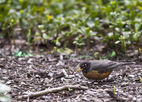 Robin chows on worm