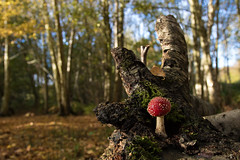 Fly Agaric woods (ToriAndrewsPhotography) Tags: fly agaric fungi toadstool toxic red white woods bokeh photography andrews tori