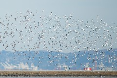 Version 3 (wbaiv) Tags: birds san francisco bay international airport flock white underside bird feathers together morethanone flying floating flapping gliding airborne animal