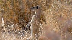 nam1_68 (L'esc Photography) Tags: etosha etoshanationalpark nam namibia oshikoto oshikotoregion yellowmongoose mongoose