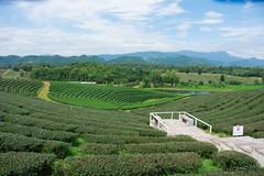 sst-3056_30410084310_o (littleaod) Tags: green greentea greenteaplantation thailand landscape mountian sky tea tree