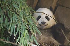 Mr. Wu is ready for his closeup! (Rita Petita) Tags: xiaoliwu sandiegozoo sandiego california china panda giantpanda specanimal