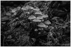 Autumn (Michael P Photograpy - wildlifemc) Tags: naturallight extensiontube pddenstoelen macro nature