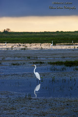 Serene (rebeccalatsonphotography) Tags: storm cloud egret blue white layered brazoria nwr nationalwildliferefuge tx texas canon bird water wetland wetlands rebeccalatsonphotography