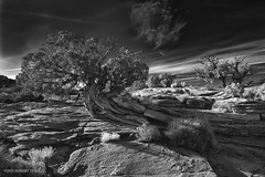 Canyonland N P (r.yuill) Tags: monochrome blackwhite bw canyonland tree treeroots nature outdoor