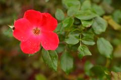 A flower after the rain (radargeek) Tags: homesteadheritage waco tx texas flower waterdrops garden
