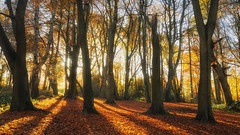 2016 Piper's Hill - Autumn Sunlight (Birm) Tags: worcestershirewildlifetrust pipershill autumn beech tree wood sunrise sunlight morning colour sony foliage woodland landscape outdoor blue sky