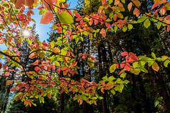 Sparkle, sparkle... (tyil.pics) Tags: yosemite nationalpark fallcolors red green backlit leaf nikond810 starburst
