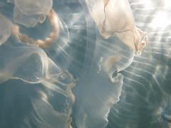 IMG_5640 (adrienweckel) Tags: adrienweckel aurélie aureliaaurita cnidaires