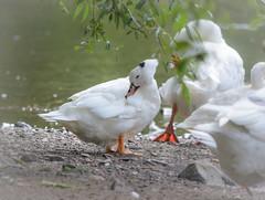 Badespa und KrperpflegeTeil 2 (part 2) (thorvonasgard) Tags: tiere wasser natur baden vogel gruppe pflege gnse spas flus prims