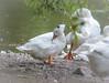 Badespaß und KörperpflegeTeil 2 (part 2) (thorvonassgard) Tags: tiere wasser natur baden vogel gruppe pflege gänse spas flus prims