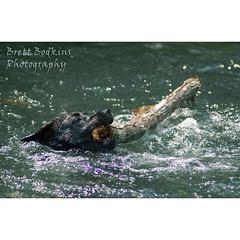 Cynarra Log (Brett Bodkins Photography) Tags: dog water creek swimming log florida brett stick fetch weeki wachee bodkins