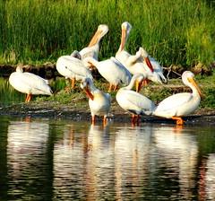 The White Pelican [elecanus erythrorhynchos] (peggyhr) Tags: white lake canada pelicans alberta peggyhr naturesprime level1photographyforrecreation super~sixstage1bronze dsc07431ab