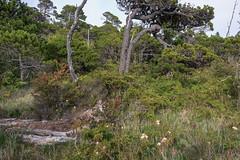 Shore-Pine-trees,-Pacific-Northwest-bog-ecosystem,-Bog-Trail,-Pacific-Rim-National-Park,-Tofino,-British-Columbia (tmeallen) Tags: pine britishcolumbia shore tofino bog ecosystem pinuscontorta pacificrimnationalparkreserve endangeredecosystems floweringlabradortea